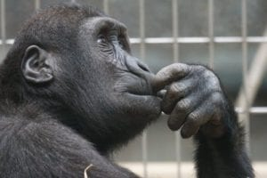 A chimp relaxing in deep thoughts